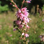 Fleurs de Callune